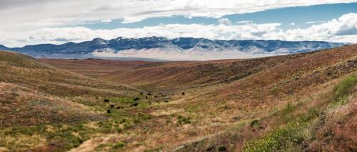 Cattle Grazing on Open Rangelands